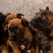 cachorros-niky